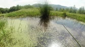 adder : dragonflies fly over the green mountain pond in a sunny day, slow motion