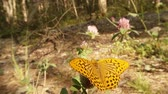 borboleta : spotted a bright orange butterfly in the sun on clover Macro Stock Footage