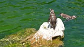 чили : Solitary Magellanic Penguin Spheniscus Magellanicus On A Rock Surrounded By Water And Penguins Swimming Around Him