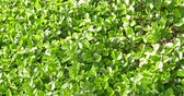 laurel leaves : Fresh Green Bush Leaves Background