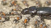 makro : Colony Of Ants Atacking And Eating Beetle