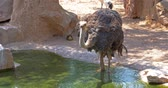 struś : Gray Ostrich Drinking Water Wideo