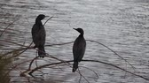 avian : Male and female Black Cormorant sit on a water plant branch in a pond in New Zealand