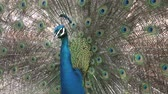 tailândia : An Indian peacock Pavo cristatus displays vibrant and colorful feathers. Its the national bird of India