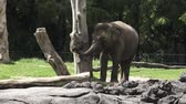 elephas maximus : Young Indian Elephant Elephas maximus indicus eat food. Elephants have the biggest ears and  the longest nose of any animal in the world.The Asian elephant is endangered animal