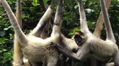 Латинской Америки : Group of Spider monkeys Ateles geoffroyi  play on a rope. They live in tropical forests of Central and South America, from southern Mexico to Brazil. Spider monkey is endangered animal Стоковые видеозаписи