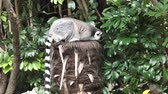 catta : Ring-tailed lemur Lemur catta sit on a tree.Lemurs live in Madagascar, an island off the eastern coast of Africa Stock Footage