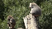 animal penis : Male and female Hamadryas baboon sit on a tree logs, native to the Horn of Africa and the southwestern tip of the Arabian Peninsula.