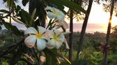 гавайский : Plumeria flowers at sunset grows in Rarotonga, Cook Islands. Nature background. Copy space Стоковые видеозаписи