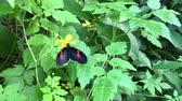 postacı : Red postman butterfly Rarotonga Cook Islands Stok Video