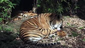 тигр : Relaxed Sumatran Tiger licking his paws