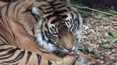 pisi : Relaxed Sumatran Tiger licking his paws  in Sumatra, Indonesia. Stok Video