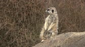 guard : Meerkat animal alert face stands on a rock in Namibia, Africa.