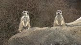 suricate : Two Meerkat animal alert face stands on a rock in Namibia, Africa.