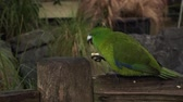 kaka : Red-crowned parakeet bird eating food  on a fence is a small parrot from New Zealand.