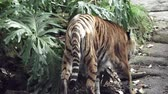 находящихся под угрозой исчезновения : Sumatran tiger walks in a Jungle. Sumatran tiger is endangered animal primarily due to conversion for palm oil and pulp plantations as Sumatra Island has lost 85 percent of its forests in the last half-century. Стоковые видеозаписи