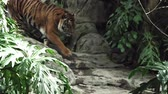 ohrožený : Sumatran tiger walks in a Jungle in slow motion. Sumatran tiger is endangered animal primarily due to conversion for palm oil and pulp plantations as Sumatra Island has lost 85 percent of its forests in the last half-century. Dostupné videozáznamy