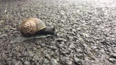 meztelen csiga : A suspicious brown garden snail crawling slowly on black asphalt surface crossing a road.
