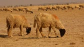 Sheeps at desert