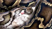 yılan : Python snake eating mouse extremly close up video