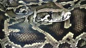 deadly : Python snake extremly close up video