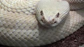 kansas : Rattlesnake moving tail, extremly close up video Stock Footage