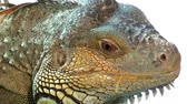varanus : Comodo dragon  extremly close up
