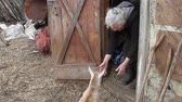 bedelaar : A very old woman with gray hair is playing with a little goat on the threshold of the barn