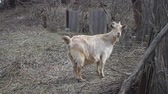 kurtarmak : Adult light goat with long hair and curved horns pokes on the background of wattle Stok Video