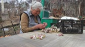 garlic clove : An old woman with gray hair picks up and cleans garlic before cooking or planting in the ground on the street, life on an old farm, her own harvest