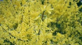 flou : Closeup of blossoming forsythia branch in spring, background or concept