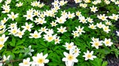 perennial : Closeup of white anemones on light wind in a Botanical Garden, one of the first flowers in spring, soft focus. Stock Footage