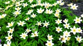 sasanka : Closeup of white anemones on light wind in a Botanical Garden, one of the first flowers in spring, soft focus. Dostupné videozáznamy