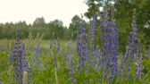 lupine : Blue lupine in the meadow. Day Stock Footage