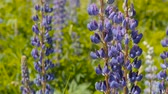 lupine : Blue lupine in the meadow. Day,slow motion, camera tilt