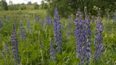 lupine : Blue lupine in the meadow. Day, slow motion