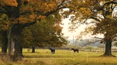 trio : Two horses taking rest under the oak tree. Autumn,day Stock Footage