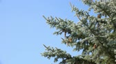 View of Spruce Branches with Fir Cone against Clear Blue Sky.