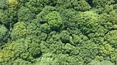 лиственный : Aerial flight over the tree tops of the dense foliar forest Стоковые видеозаписи