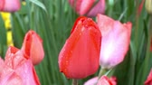 canteiro de flores : Red tulips in dew on a flower bed closeup. HD video