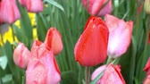 canteiro de flores : 4K view of red tulips in dew on a flower bed closeup.