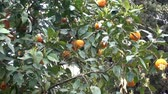 cytrusy : Branches of mandarin tree with ripe orange fruits in the wind. HD video