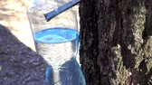 cső : Collection of birch sap. Drops of juice drip into a bottle close-up. HD video