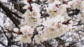 gomos : Flowering branch of apricot tree. Beautiful white flowers on an apricot tree in the spring. HD video