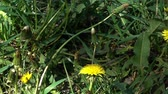 мед : Slow Motion of Bee Flying over yellow Dandelion Flowers in green Grass. Стоковые видеозаписи