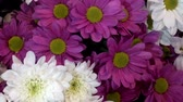 gerbera : Beautiful white and purple gerbera flowers and chrysanthemums as a background. HD video