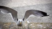 caught : Slow motion of a gull catching slices of food on the shore of close up.