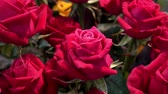 símbolos : Bouquet of beautiful red roses as background. HD video