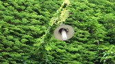 плющ : Lantern and a wall covered with dense green ivy leaves. HD video