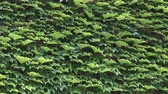vertical : Dense green ivy leaves on the wall as a background. HD video